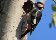 GreatSpottedWoodpecker.jpg